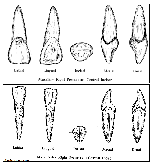 Differences between Permanent Maxillary and Mandibular Incisors ...